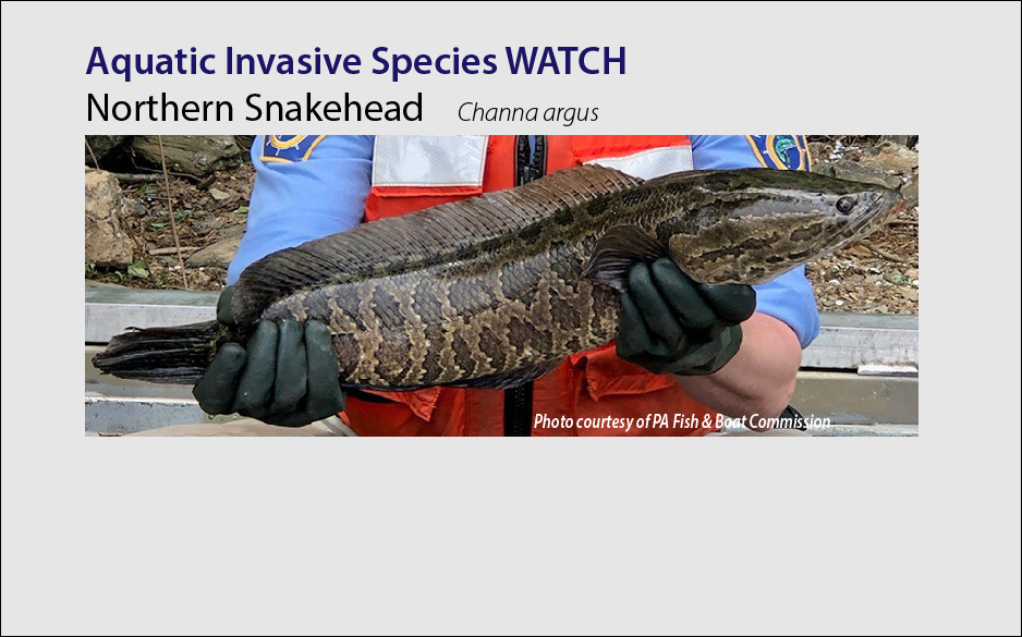 northern snakehead fish AIS watch