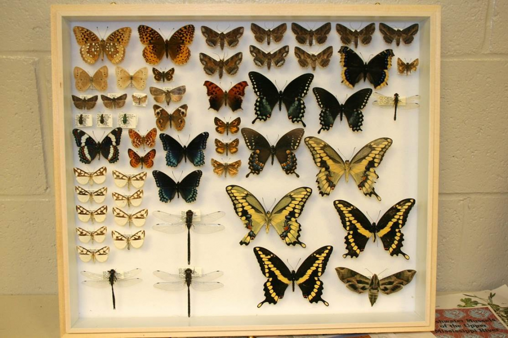 Natural History butterfly and dragonfly drawer