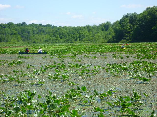 volunteering in canoe removing invasive plants in lake