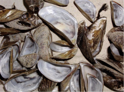 invasive mussel species
