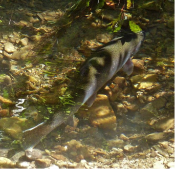 fish hiding under vegetation in a stream