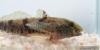tubenose goby