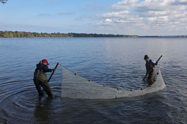 staff using a net to capture invasive fish species