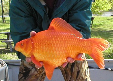 Large goldfish which someone released into the wild courtesy NY Dept of Environmental Conservation