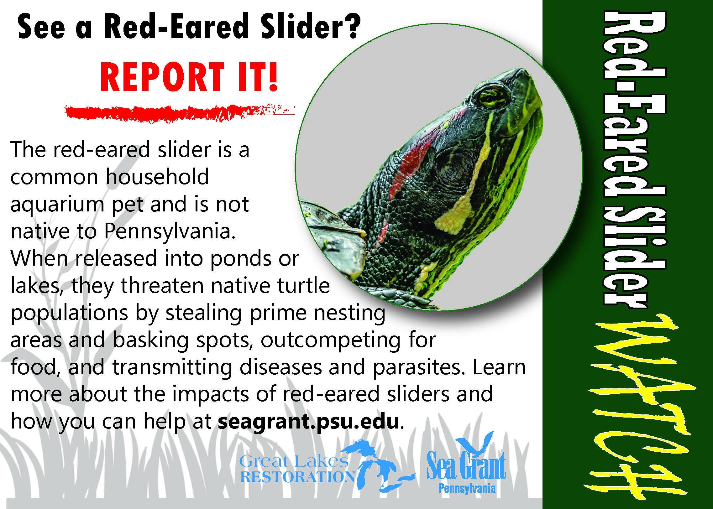 Removing the Invasive Red-eared Slider from Presque Isle