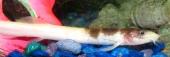 oriental weatherfish