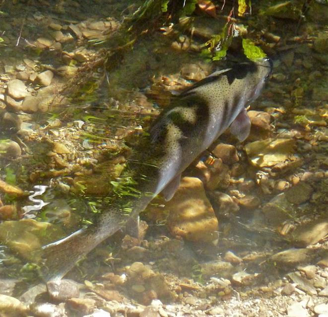 Steelhead (fish) in Lake Erie Watershed