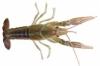 White river crayfish