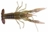 White river crayfish